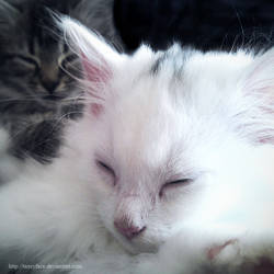 fuzzy little kittens by tazzyface