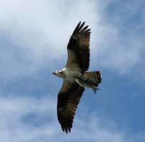 Osprey by VivaNickDrake