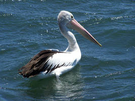 Pelican 001 by this-and-that-stock