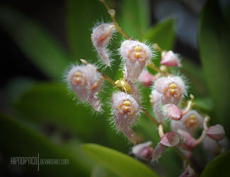 Orchid IV - Stelis sp. by hipnoptico