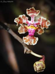 Orchid LIII - Oncidium sp. by hipnoptico