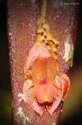 Orchid LXVI - Lepanthes sp. by hipnoptico