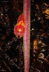 Orchid LXXXIV - Lepanthes sp. by hipnoptico