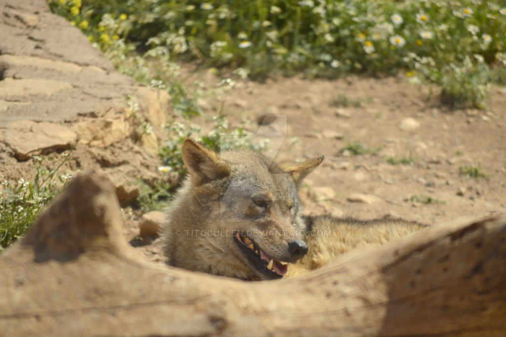 #Animales #Lobo #wolf by TitoCullen