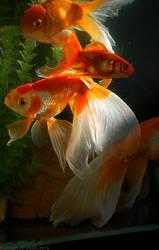 Goldfish .0373-022013. by Ahkahna