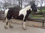 Horse Stock 152