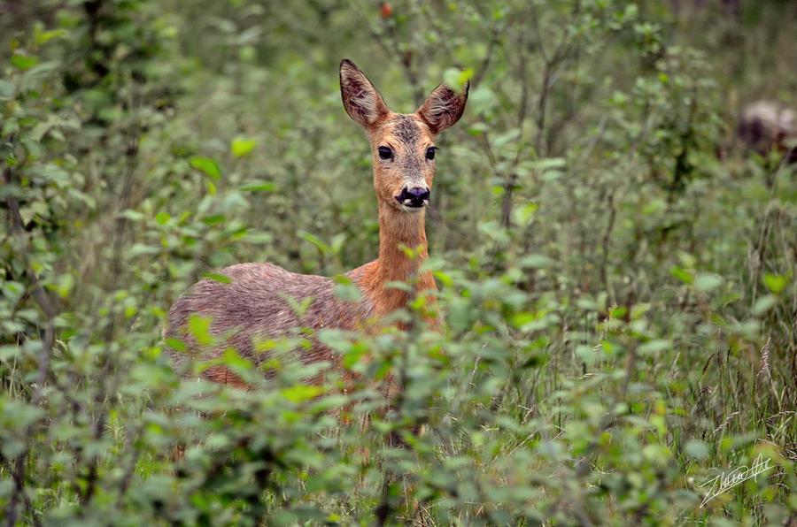 Deer by Zelinaa