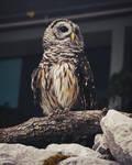 Barred Owl by Orca-Onyx