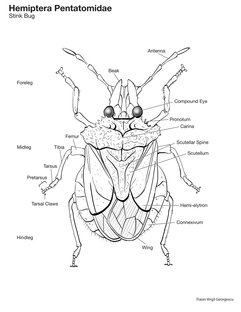 Stink Bug Diagram - Library Of Wiring Diagram •