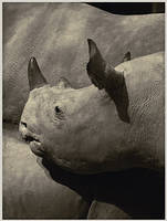 Rhino by daaram