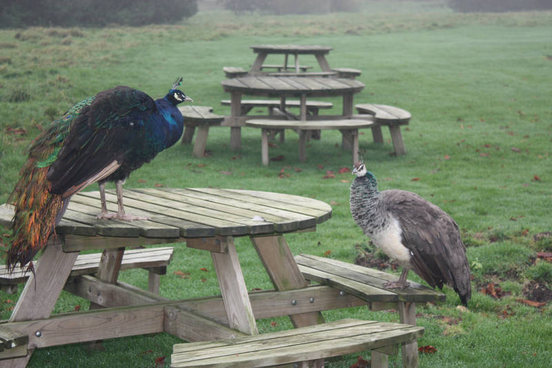 PicnicTimePeacockStyle by antonthegreat
