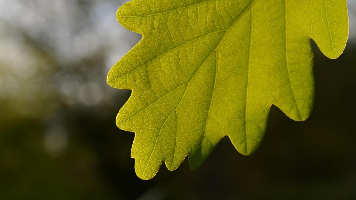 Oak leaf by Kopczynski-Adam