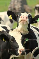 Crazy Cows by Jamilam