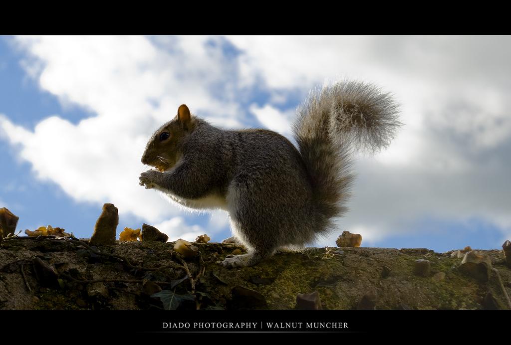 Walnut Muncher by diado