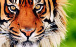 The Beautiful Tiger
