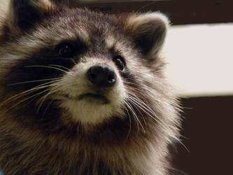 Raccoon. by SolaraLohu
