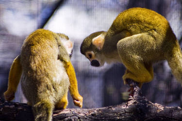 Squirrel Monkey Cheer Up by btoum