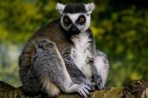Ring-tailed Lemur 02 by btoum