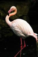 Flamingo 01 by btoum
