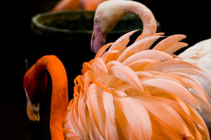 Flamingo 05 by btoum