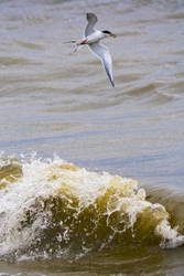 Tern Catch by btoum