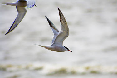 Terns 02 by btoum