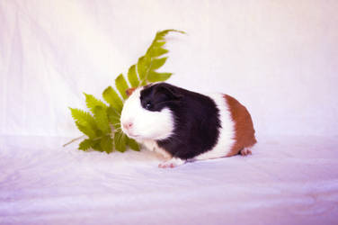 Young Guinea pig by Tamara971