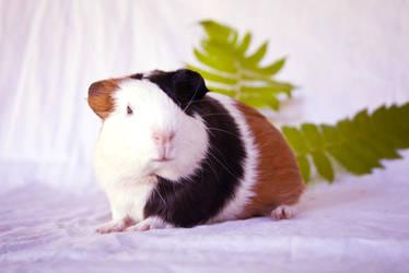 Young guinea pig 2 by Tamara971