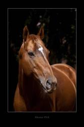 Portrait horse stallion thoroughbred by Tamara971