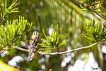 Gli-gli Caribbean Falcon by Tamara971