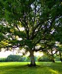 Yard Oak