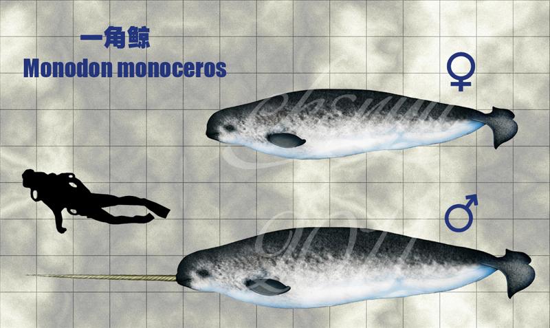 Resultado de imagem para monodon monoceros