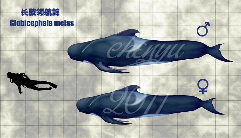 http://fc09.deviantart.net/fs70/f/2011/161/4/2/globicephala_melas_by_sinammonite-d2b3x4l.jpg