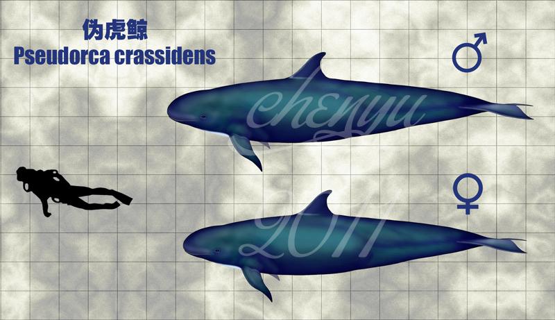 http://fc01.deviantart.net/fs70/f/2011/161/1/f/pseudorca_crassidens_by_sinammonite-d2b3xlg.jpg