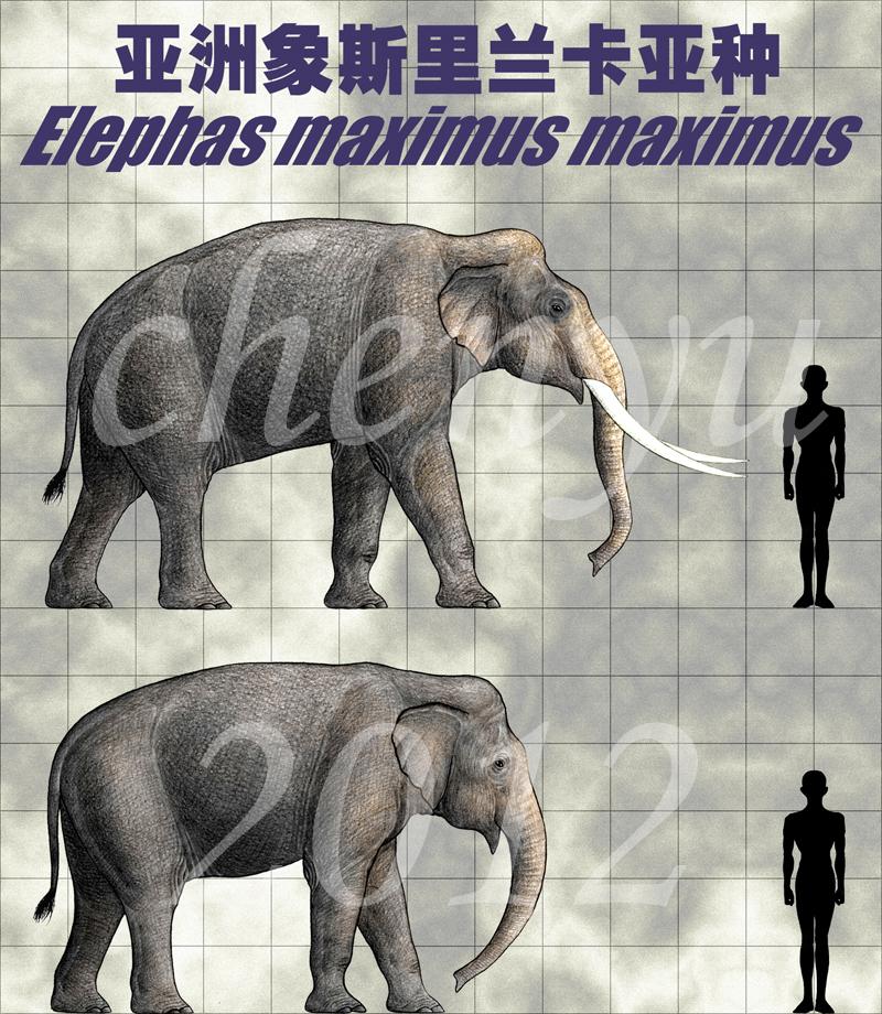 Elephas maximus maximus by sinammonite