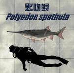 Polyodon spathula