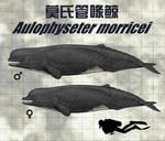 Aulophyseter morricei