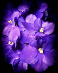 African Violet by yume-no-yukari-photo