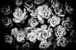 Succulents by yume-no-yukari-photo