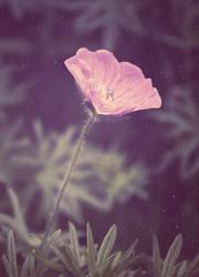 Dreamy Geranium by yume-no-yukari-photo