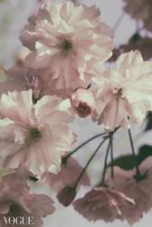Cherryblossoms by yume-no-yukari-photo