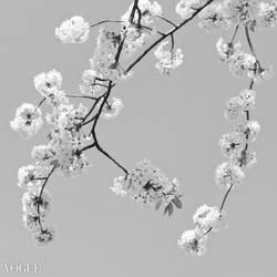 Hanging Blossoms by yume-no-yukari-photo