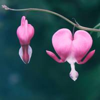 Bleeding Hearts by yume-no-yukari-photo
