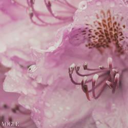 Macro Azalea by yume-no-yukari-photo