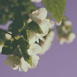Apple Blossoms by yume-no-yukari-photo