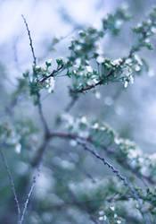 Tiny Blossoms by yume-no-yukari-photo