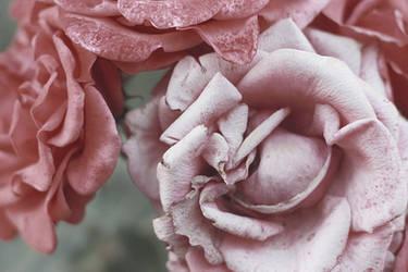 Fading Roses by yume-no-yukari-photo