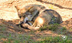 Mexican Wolf at the Zoo