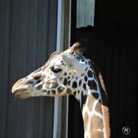 Female Giraffe by Tsisqua-Ugidali