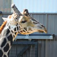 Male Giraffe by Tsisqua-Ugidali